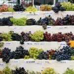 Kaska viinamarjalaud