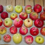 Päidre Puukool - noorte viljapuude viljad