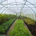 Seedri Puukool.Istikud kasvuhoones