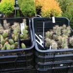 Haidead, kaktused
