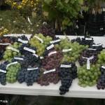 Pruuli-Kaska  talu viinamarjad.